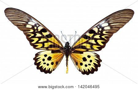 Giant African Swallowtail, Papilio Antimachus, isolated on white