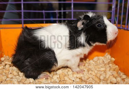 black and white curly guinea pig sitting in a cage