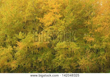 a picture of an exterior Pacific Northwest forest with Quaking aspen and Cottonwood trees in fall