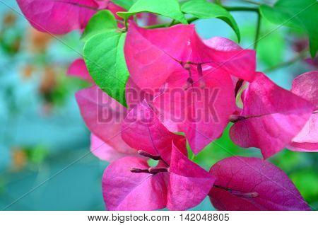 pink Bougainville tropical flower blossoms closeup shot