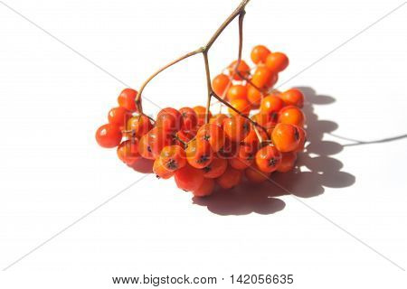 Rowan bright coral berries on a twig with shadow on white background