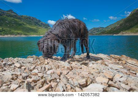 Black Shepherd Dog Near A Mountain Lake