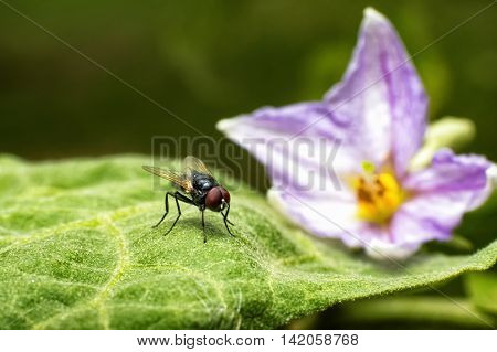 macro photography of the fly stay on leaves of eggplant and the flower