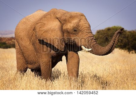 Elephant in the savannah in Namibia Africa concept for traveling in Africa and Safari