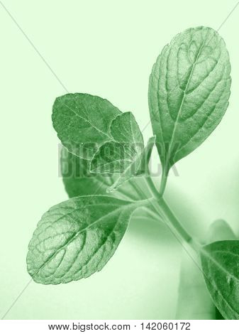 Citronella leaves closeup photo in green color