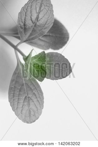Citronella leaves closeup photo in black, white and green color