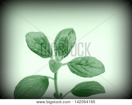 Oregano leaves closeup photo in green color