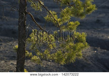 Pine Branch Swaying Gently with the Wind