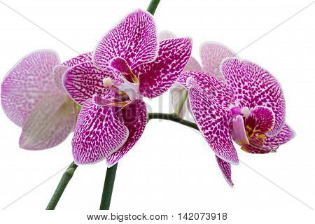 Flowers pink phalaenopsis orchid isolated, on a white background