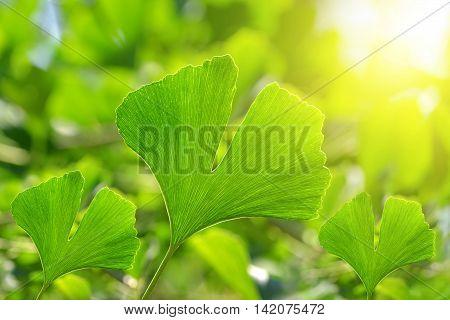 Green leaves of Ginkgo Biloba on natural background.