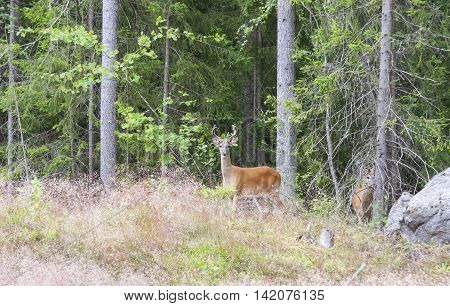 Wild white tailed deer in forest in summer