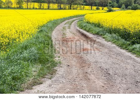 View on yellow Rape field - Poland