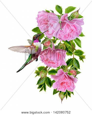 Branch of blooming roses and a small colorful bird hummingbird on a white background. Isolated.