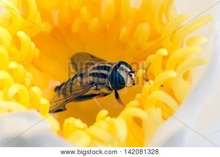 Macro of hoverfly hidden in yellow flower waterlily