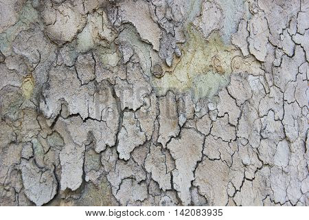 Sycamore tree bark closeup abstract texture background