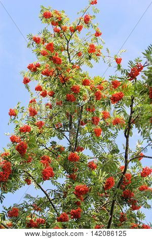 Bunches of ripe mountain ash. Ripe berries on the bushes and wild trees.