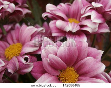 Pink flowers blooms garden background closeup shot