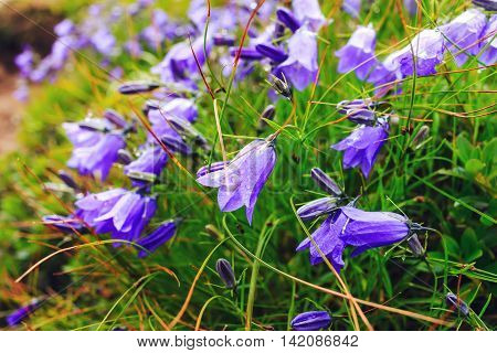 Wild carpathian violet bellflower Campanula carpatica Ukraine
