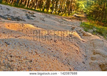 detail of sandy path in a pine forest early in the evening near the village Hradcany in the tourist area Machuv kraj in czech landscape
