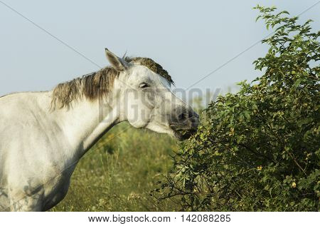 white horse with light mane and tail stands on the field on the green grass