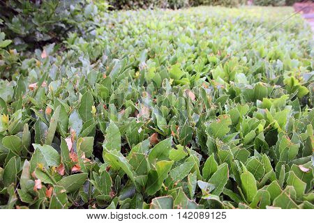 green foliage of trimmed bushes in garden in perspective closeup