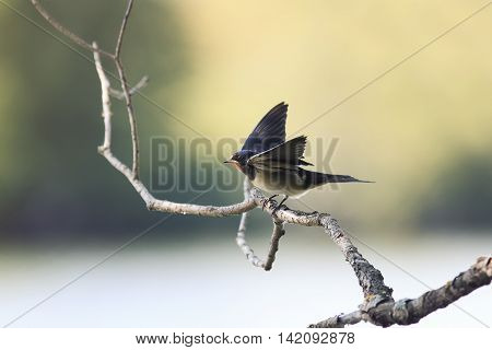 nestling birds swallows sitting on a branch and asks to eat