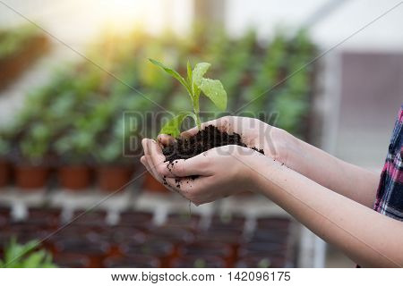 Sprout And Soil In Hands