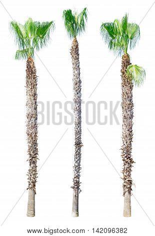 Sick palm tree isolated on white background. Washingtonia filifera.