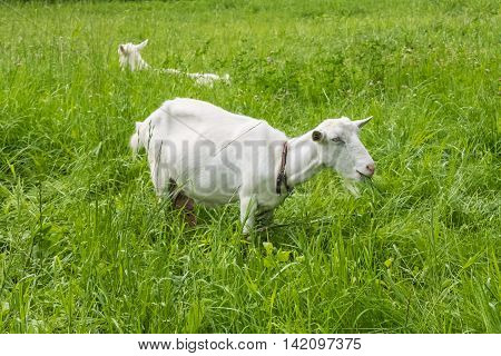 White goats grazing. Pastoral views and rural animal grazing. The cattle in the pasture grazing. Horned cloven-hoofed livestock on a ranch. Goat's milk is good for health.