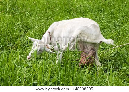 Funny white goat with large udder filled with milk.  Pastoral views and rural animal grazing. Cattle in the pasture grazing. Horned cloven-hoofed livestock on a ranch. Goat's milk is good for health.