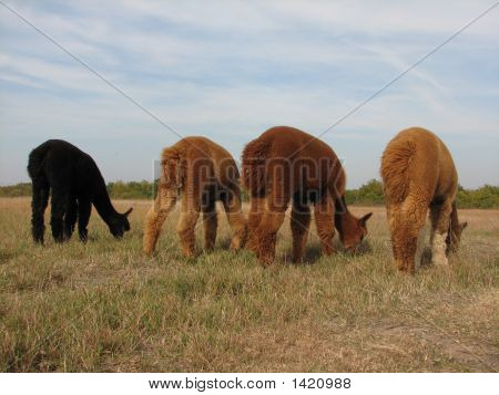 Alpacas Grazing On A Hill