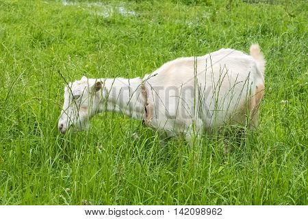White goat in the village, pastoral views/ Rural animal grazing. The cattle in the pasture grazing. Horned cloven-hoofed livestock on a ranch. Goat's milk is good for health.