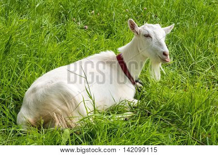 White goat chews grass.  Pastoral views and rural animal grazing. Goat in the meadow. Cattle in pasture grazing. Horned cloven-hoofed livestock on ranch. Goat's milk is good for health.