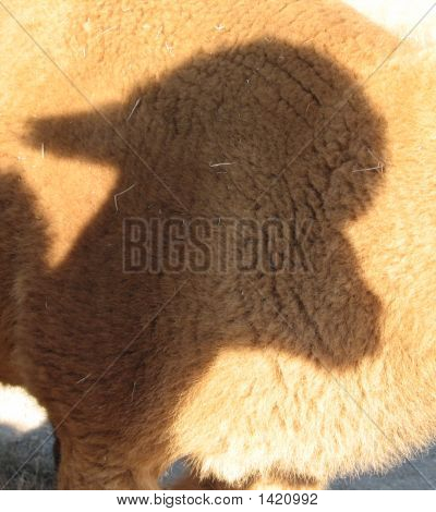 Alpaca Shadow On Alpaca