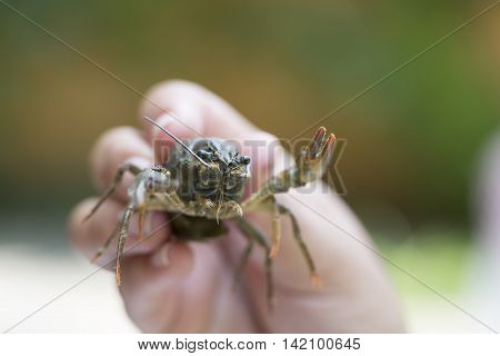Nature Concept. Woman's hand holds alive crayfish.
