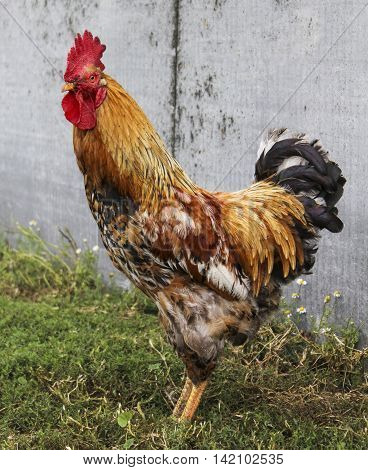 Brown rooster with red comb and black tail standing on the green grass