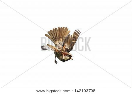little angry bird fluffed her wings and opened beak on white background