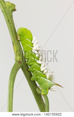 Close up of tobacco hornworm with parasite wasp coccons