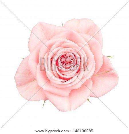 Multi-petalled pink garden rose isolated on white.
