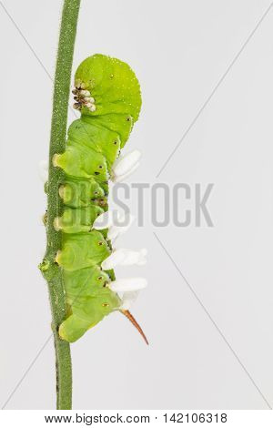 Close up of tobacco hornworms with Cotesia congregatus wasp cocoons.