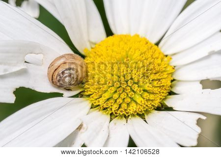 Snail on a partially eaten and damaged white daisy flower