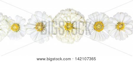 Row of inflorescences zinnias isolated on white background