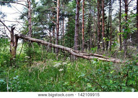 Photo Wallpapers Russian wild nature pine forest taiga Broken tree has got a lightning storm