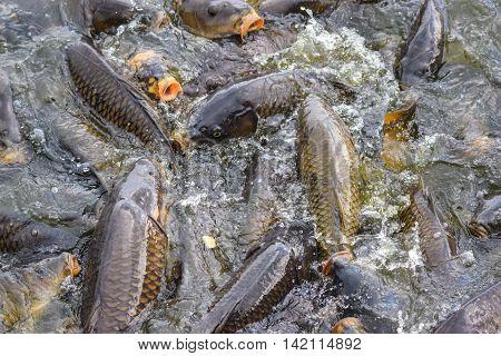 Carp feeding at Pymatuning Lake, Linesville Pennsylvania.