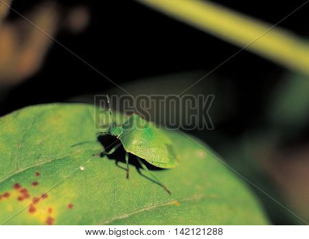 Protective color green insect on a green leaf