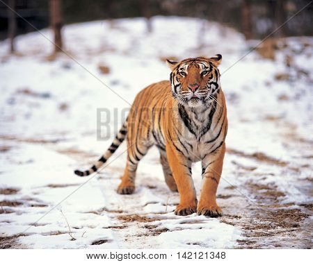 Tiger on the snowfields