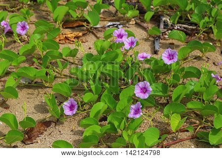 Pink morning glory flowers on the sandy beach