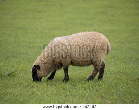 Single Sheep