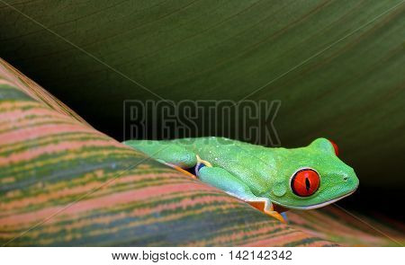 Red eye tree frog with vibrant red eyes resting on patterned leaves with copy space.