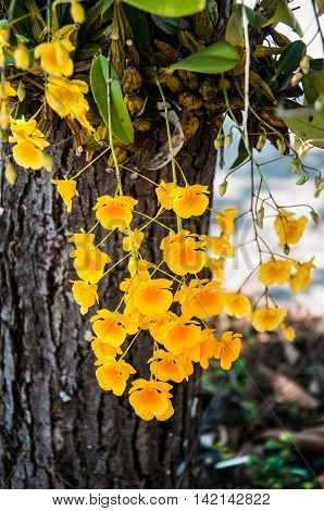 Beautyfull Yellow Orchid Dendrobium lindleyi on tree